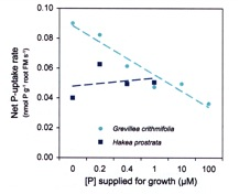 Figure 2.8 The effect of phosphorus supply on net P uptake for Grevillea crithmifolia and Hakea prostrata.  Note the down regulation of uptake in G. crithmifolia.